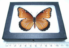 REAL FRAMED BUTTERFLY MONARCH MIMIC QUEEN DANAUS GILIPPUS RECTO