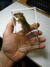 DEER MOUSE Peromyscus maniculatus. Souris Sylvestre. Real mice embedded in resin