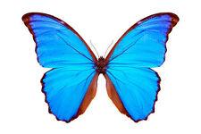 Butterfly/Morpho Didius (m) - Peru, South America