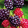 100 Samen Brombeere (Rubus fruticosus), Blackberry, leckere Früchte Plant C9Z0