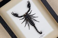 Heterometrus longimanus real framed Scorpion/ butterfly insect taxidermy