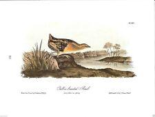 Yellow-Breasted Rail Vintage Bird Print by John James Audubon