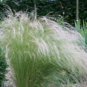 STIPA TENUISSIMA PONY TAILS MEXICAN FEATHER GRASS EVERGREEN  GARDEN  PLANT