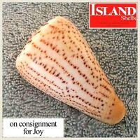 Conus suratensis #1 74.5mm BEAUTIFUL NEAR-GEM SPECIMEN from the Philippines