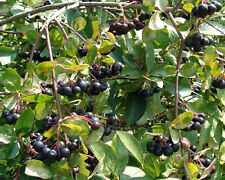 20 BLACK CHOKEBERRY SEEDS - Aronia melanocarpa