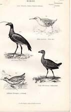 C1860 Aufdruck Sultana Bird Gallinule Screamer Water Rail