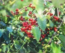 50 PK HAWAIIAN KONA COFFEE PLANT SEEDS ~ GROW HAWAII