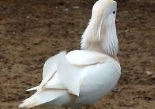 8 White Mandarin Duck Hatching Eggs