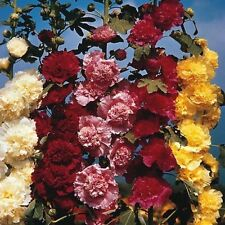 Hollyhock - Chater's Double Mix - 25 Seeds