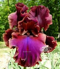 "Tall Bearded ""TEXAS RENEGADE"" Iris - BLENDED RED MAROON BLUE VIOLET '02 * PLANT"