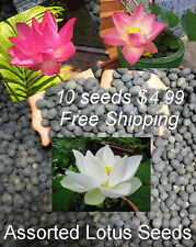 10 ASSORTED NYMPHAEA LOTUS SEEDS - Supreme Quality - see result in 4 weeks