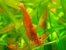 10 Red Cherry Shrimps Fresh Water (Neocaridian) Home Bred Shrimp.