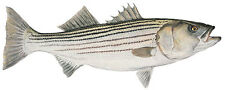 Flick Ford MATURE STRIPED BASS giclee canvas #75/75 FISH