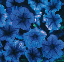 1,000 Pelleted Petunia Seeds Celebrity Blue Ice Seeds  BULK SEEDS