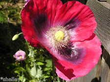 Neon Lights Afghan Papaver Somniferum Poppy Seeds Hot Pink *Shelley
