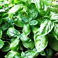 BASIL LARGE LEAVED SWEET 500+ SEEDS HERB OCIMUM BASILICUM SABJA MEDICINAL USA