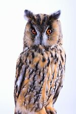 Taxidermy Owl Bird Real Stuffed mounted Asio otus