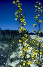 Imaximilian sunflowers.