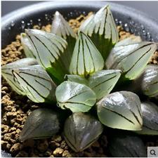 Haworthia 'ISI atrofusca' mutant Succulent plants potted Plants Home Garde 6cm