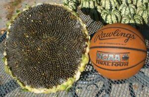 Sunflower Mongolian Giant - 5+ seeds - Semillas - Graines - Samen
