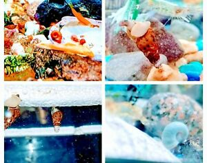 20+ Live Ramshorn and Trumpet Snails Combo pack. Mixed size