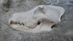 big RUSSIAN wolf skull taxidermy
