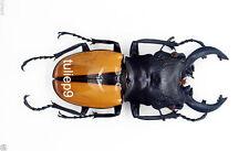 Lucanidae - Stag Beetle - Odontolabis ludekingi (m) 70mm  -  Indonesia ( OL69)