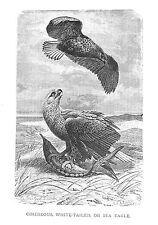 1885 CINEREOUS SEA EAGLE J.G.Wood/NICE BW Antiquarian BIRD PRINT L@@K!