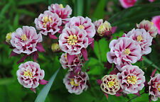 Columbine Winky double red & white (25+seeds)- upwards facing blooms! perennial