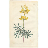 Curtis Botanical antique 1803 hand-colored engraving Pl 682 Tree Lupin