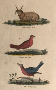 1815  Antique Hand Coloured Print : Horned Ram, Summer Red Bird, Blue Red Breast