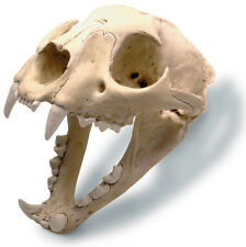 "Mountain Lion Couger Puma Adult Skull Model Replica with Stand 7"" x 5"" x 6"""