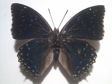 Insect/Butterfly//Moth Set/Spread B6250 Large Blue Charaxes tiridates 8.5 cm