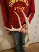 Wild Whitetail Deer Antler Shed Horn Rack Decor Craft 5 Point Tall Dog Chew