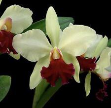 Cattleya Mark Jones 'Newberry' X Blc Canto en Verde 'Mendenhall' Nbs 2.5� (12)