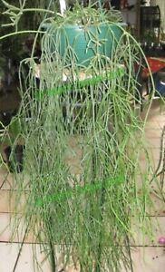 Rhipsalis Teres R8 (8-10cm Cutting) Epiphyllum Cactus