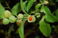 Withania somnifera, Ashwagandha, Indian Ginseng, 100 seeds