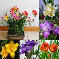 100Pcs Freesia Bulbs Old Fashion Perfume Flower Seeds Garden Plant Perennial XJ