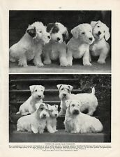 SEALYHAM TERRIER ORIGINAL VINTAGE 1930's DOG PRINT PAGE GUNSIDES KENNEL