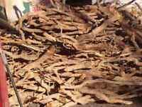 SASSAFRAS  ROOT/ SASSAFRAS TEA / ROOT BEER.  1 lb.{WILD} No need to remove bark!
