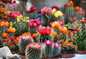 Seeds Indoor Cactus Cacti Mix Rare Succulents Barrel Beatuful Plant Ukraine