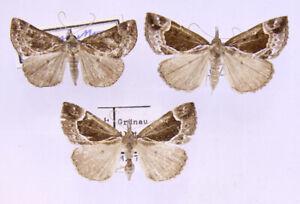 3 x Hypena crassalis aus Österreich/Ungarn