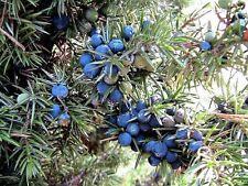 60 Organic Seeds COMMON JUNIPER Juniperus Communis Tree Shrub - 20 Blue Berries