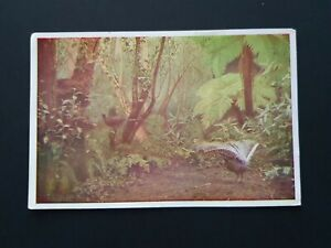 National Museum Melbourne - The Lyre-Bird Postcard Blank UAL38