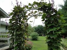 Purple Hyacinth Vine *15 seeds* Plant Attracts Butterflies Climber