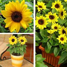 20 Seeds Mini Sunflower Bonsai Plant Tree House Herb Garden Flower Pot Decor