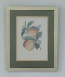 Framed Botanical Picture of Peaches 43 x 34cm