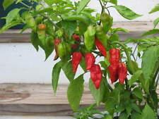 25+ Premium 2016 Harvested Naga Morich Hot Pepper Seeds