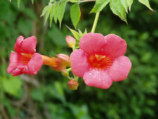 Campsis radicans - Trumpet Creeper 6 Bare Root Plants