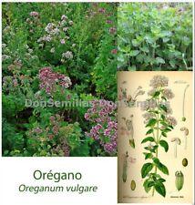 Oregano ( Origanum vulgare )  0,2 gr / 1.800 semillas apróx - seeds - orégano